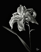 Flower Photos Framed Prints - Double Day Lily in Black and White Framed Print by Endre Balogh