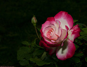 The Flower Photographer - Double Delight by Glenn Franco Simmons