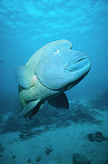 Ai Posters - Double-headed Maori Wrasse Cheilinus Poster by Mark Spencer
