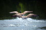 Canadian Geese Art - Double Landing by Karol  Livote