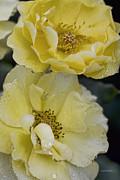 Deborah Benoit - Double Roses