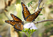 Queen Butterfly Posters - Double the Fun  Poster by Saija  Lehtonen