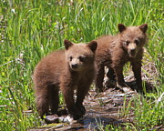 Black Bear Cubs Prints - Double Trouble Print by Bruce J Robinson