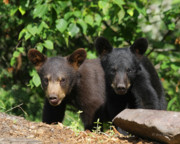 Black Bear Cubs Prints - Double Trouble Print by Gerry Sibell
