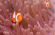 Anemonefish Prints - Double Vision Print by Steven Trainoff Ph.D.