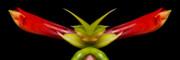 James BO  Insogna - Double Vison Close-up of Amaryllis Bloom