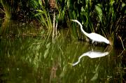 Florida Swamp Photos - Double White by Emily Stauring