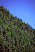 Fir Trees Prints - Douglas Fir Forest, British Columbia, Canada Print by Kaj R. Svensson