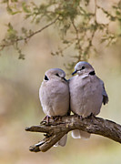 Bird Photography Posters - Dove Love Poster by Basie Van Zyl