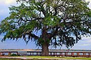 Old Tree In Charleston Prints - Down by the river side Print by Susanne Van Hulst