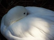 Bird Photographs Art - Down For a Nap by Karen Wiles