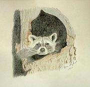 Raccoon Drawings - Down for the night Raccoon by Daniel Shuford