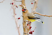 Cedar Waxwing Posters - Down the Hatch Poster by Betty LaRue