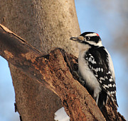 Bird In Tree Posters - Downey Woodpecker Poster by Paul Ward