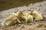 Baby Bird Photos - Downy cozy baby geese by Pierre Leclerc
