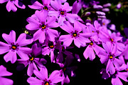 Phlox Prints - Downy Phlox Print by Thomas R Fletcher