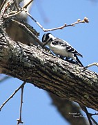 Signed Digital Art Posters - Downy Woodpecker 8168-I Poster by Suzanne  McClain