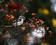 Red Leaves Photos - Downy Woodpecker and White Berries by Scott Hovind