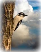 Animal Photograph Framed Prints - Downy Woodpecker Framed Print by Bob Orsillo