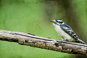 Perching Framed Prints - Downy Woodpecker Framed Print by Darren Fisher