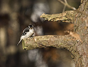 Diane Giurco - Downy Woodpecker