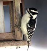 Diane Merkle - Downy Woodpecker