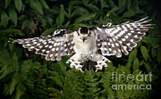 Songbirds Posters - Downy Woodpecker In Flight Poster by Ted Kinsman