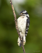 Textured Bird Posters - Downy Woodpecker Poster by J Larry Walker
