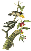 Woodpecker Paintings - Downy Woodpecker by John James Audubon