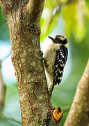 Woodpecker Digital Art Posters - Downy Woodpecker on Tree Poster by Bill Tiepelman