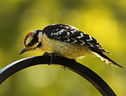 Downy Woodpecker Up Close 3 Print by Bill Tiepelman