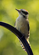 Woodpecker Digital Art Posters - Downy Woodpecker Up Close Poster by Bill Tiepelman
