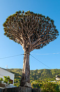 Canary Islands Metal Prints - Dracaena Draco, The Canary Islands Dragon Tree Metal Print by Chris Hepburn