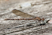 Dragonfly Macro Photos - Dragon by David Hahn