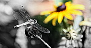 Dragon Flies Posters - Dragon Fly and Yellow Black Eyed Susan Poster by Tam Graff