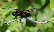 Insects And Crawley Things - Dragon Fly by David Lane