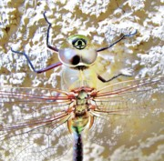 Dragonflies Art - Dragon Fly I by John King