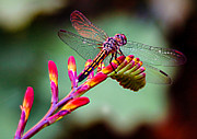 Dragon Fly Posters - Dragon Fly Poster by Jean Noren