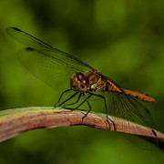 Dragon Fly Posters - Dragon fly Poster by Jorgen Norgaard