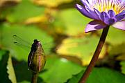 Jardin Photography - Dragon Fly on Bud and Water Lily Horizontal Number One by Heather Kirk