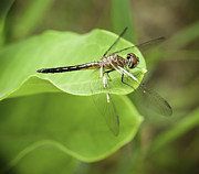 Winged Art - Dragon Fly Portrait by Thomas Young