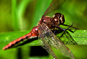 Dragon Fly Posters - Dragon Fly Poster by Terry Elniski