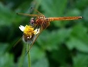Dragon Fly Posters - Dragon Fly with Flower Poster by Nalini Pitigala