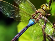 Dragonfly Photo Originals - Dragon in Blue by Matthew Klein