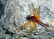 Macro Dragonfly Picture Posters - Dragon on a rock Poster by Don Mann