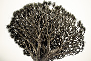 Tree.old Framed Prints - Dragon Tree Framed Print by Justin Albrecht