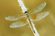 Dragonfly Photos - Dragon Wings by John Blumenkamp
