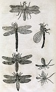 Dragonflies Art - Dragonflies, 17th Century Artwork by Middle Temple Library