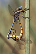 Dragonflies Mating Photos - Dragonflies Mating by Neil Overy