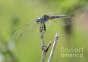 Dragonflies Art - Dragonfly Against Green Backdrop by Carol Groenen